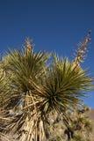 Πολλοί μεγάλο Yucca στην οροσειρά βουνά της Νεβάδας Στοκ Εικόνες