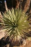 Πολλοί μεγάλο Yucca στην οροσειρά βουνά της Νεβάδας Στοκ Φωτογραφία