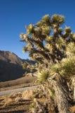 Πολλοί μεγάλο Yucca στην οροσειρά βουνά της Νεβάδας Στοκ εικόνα με δικαίωμα ελεύθερης χρήσης
