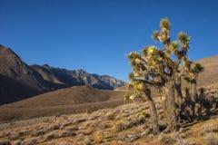 Πολλοί μεγάλο Yucca στην οροσειρά βουνά της Νεβάδας Στοκ Εικόνα