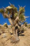 Πολλοί μεγάλο Yucca στην οροσειρά βουνά της Νεβάδας Στοκ φωτογραφίες με δικαίωμα ελεύθερης χρήσης