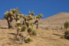 Πολλοί μεγάλο Yucca στην οροσειρά βουνά της Νεβάδας Στοκ εικόνες με δικαίωμα ελεύθερης χρήσης