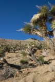Πολλοί μεγάλο Yucca στην οροσειρά βουνά της Νεβάδας Στοκ φωτογραφία με δικαίωμα ελεύθερης χρήσης