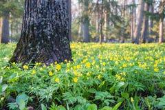 Πολλοί μικρό κίτρινο δάσος λουλουδιών την άνοιξη Στοκ Εικόνες