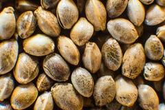 Πολλοί σπόροι καννάβεων Οργανικός σπόρος κάνναβης Μακρο λεπτομέρεια του σπόρου μαριχουάνα Τοπ όψη Υπόβαθρο σπόρων κάνναβης στη μα στοκ φωτογραφία