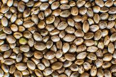 Πολλοί σπόροι καννάβεων Οργανικός σπόρος κάνναβης r Υπόβαθρο σπόρων κάνναβης στη μακροεντολή Μακρο λεπτομέρεια του σπόρου μαριχου στοκ φωτογραφία