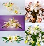 Πολλοί όμορφοι κρίνοι χωρίς υπόβαθρο, κρίνοι λουλουδιών στους μεγάλους αριθμούς Στοκ Φωτογραφίες