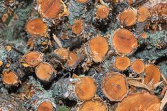 Πολτός ξύλου σημύδων σε έναν σωρό στοκ φωτογραφίες