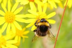 Πολυάσχολη μέλισσα που συλλέγει το νέκταρ στοκ εικόνες