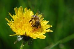 Πολυάσχολη μέλισσα σε μια κίτρινη πικραλίδα στοκ εικόνα