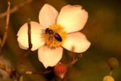 Πολυάσχολη μέλισσα στο hupehensis Anemone Στοκ Εικόνα