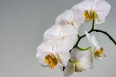 Πολυτελής κλάδος του άσπρου λουλουδιού Phalaenopsis ορχιδεών, γνωστός ως ορχιδέα σκώρων ή Phal στο ανοικτό γκρι υπόβαθρο στοκ φωτογραφία με δικαίωμα ελεύθερης χρήσης