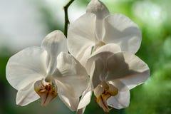 Πολυτελής κλάδος του άσπρου λουλουδιού Phalaenopsis ορχιδεών phalaenopsis, γνωστός ως ορχιδέα σκώρων ή Phal στο μαύρο υπόβαθρο στοκ εικόνες