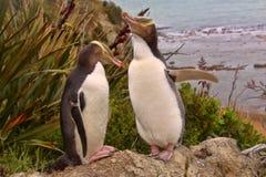Πολυτιμότερη διαβίωση penguin, κίτρινος-eyed penguin, αντίποδες Megadyptes, Νέα Ζηλανδία στοκ φωτογραφίες