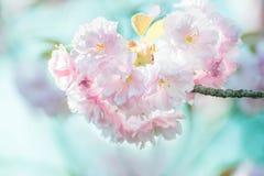 Πολύβλαστα άνθη sakura, λεπτά ρόδινα λουλούδια Στοκ εικόνες με δικαίωμα ελεύθερης χρήσης