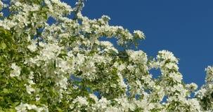 Πολύβλαστα άσπρα δέντρα μηλιάς λουλουδιών