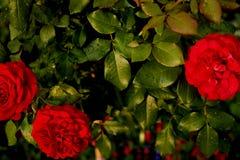 Πολύβλαστα κόκκινα τριαντάφυλλα στους φυσικούς όρους στον κήπο Πολύβλαστα κόκκινα τριαντάφυλλα στους φυσικούς όρους στον κήπο Δρο Στοκ εικόνες με δικαίωμα ελεύθερης χρήσης