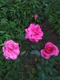 Πολύβλαστα πορφυρά τριαντάφυλλα στον κήπο στοκ εικόνα με δικαίωμα ελεύθερης χρήσης
