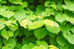 Πολύβλαστα πράσινα φύλλα για το υπόβαθρο, μακρο foto Στοκ εικόνες με δικαίωμα ελεύθερης χρήσης