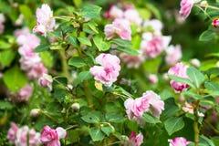 Πολύβλαστοι ανθίζοντας επανθίσεις και οφθαλμοί χλωμού - διπλός-ανθισμένο ροζ walleriana Impatiens στον κήπο Ρωσία Στοκ Εικόνες