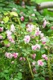 Πολύβλαστοι ανθίζοντας επανθίσεις και οφθαλμοί χλωμού - διπλός-ανθισμένο ροζ walleriana Impatiens στον κήπο Ρωσία Στοκ φωτογραφία με δικαίωμα ελεύθερης χρήσης