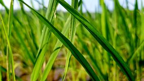 Πολύβλαστος πράσινος ορυζώνας στον τομέα ρυζιού Υπόβαθρο άνοιξης και καλοκαιριού Στοκ Εικόνα