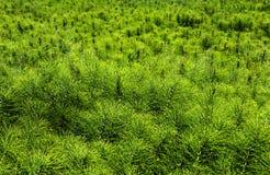 Πολύβλαστος πράσινος τομέας των ζιζανίων ουρών αλόγων στοκ φωτογραφία