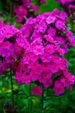 Πολύβλαστο πορφυρό λουλούδι phlox Στοκ εικόνα με δικαίωμα ελεύθερης χρήσης