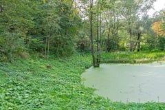 Πολύβλαστο πράσινο έλος, οικολογία, πράσινο έλος στο δασικό, φυσικό τοπίο Στοκ εικόνες με δικαίωμα ελεύθερης χρήσης