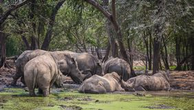 Πολύς ρινόκερος στο ζωολογικό κήπο Στοκ Εικόνες