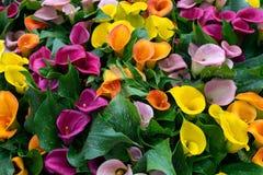 Πολύχρωμα κίτρινα, ρόδινα πορτοκαλιά, πορφυρά calla λουλούδια ως υπόβαθρο στοκ εικόνες με δικαίωμα ελεύθερης χρήσης