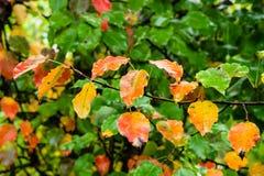 Πολύχρωμα φύλλα του δέντρου μηλιάς στον κλάδο στη βροχή στοκ φωτογραφία με δικαίωμα ελεύθερης χρήσης