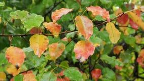 Πολύχρωμα φύλλα του δέντρου μηλιάς στον κλάδο στη βροχή απόθεμα βίντεο