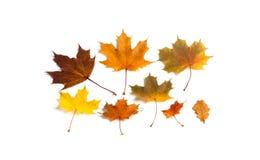 Πολύχρωμα φύλλα φθινοπώρου που τίθενται στο άσπρο υπόβαθρο Κίτρινα πορτοκαλιά καφετιά φύλλα του σφενδάμνου και του δρύινου δέντρο Στοκ φωτογραφία με δικαίωμα ελεύθερης χρήσης