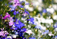 πολύχρωμα pansies Στοκ Εικόνες