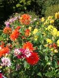 Πολύχρωμες ντάλιες στον κήπο στοκ φωτογραφία