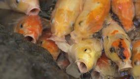 Πολύχρωμη κολύμβηση ψαριών koi χαριτωμένη σε ένα νερό, ζωηρόχρωμα ψάρια koi στη λίμνη απόθεμα βίντεο