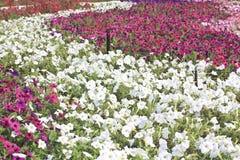 Πολύχρωμη πετούνια σε μια κινηματογράφηση σε πρώτο πλάνο σπορείων, floral ανασκόπηση Στοκ Εικόνα
