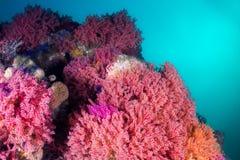 Πολύχρωμοι ανεμιστήρες θάλασσας που καλύπτουν το σκόπελο υποβρύχιο Στοκ Φωτογραφία