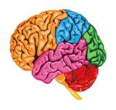 Πολύχρωμος ανθρώπινος εγκέφαλος ελεύθερη απεικόνιση δικαιώματος
