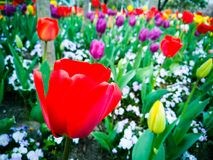 Πολύχρωμος κήπος τουλιπών την άνοιξη στοκ εικόνες με δικαίωμα ελεύθερης χρήσης