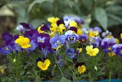 Πολύχρωμος κήπος pansies στοκ εικόνες