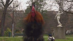 Πολύχρωμος κόκκορας μεταξύ των πουλιών στο πάρκο απόθεμα βίντεο