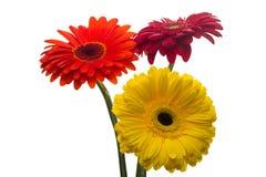 Πολύχρωμος gerbera λουλουδιών που απομονώνεται Στοκ Φωτογραφίες