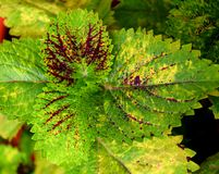 Πολύχρωμο υπόβαθρο φύσης φύλλων αφηρημένο - υβριδικό Coleus Blumei - Plectranthus Scutellarioides Στοκ εικόνα με δικαίωμα ελεύθερης χρήσης