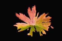 πολύχρωμο φύλλο φθινοπώρου Στοκ εικόνες με δικαίωμα ελεύθερης χρήσης