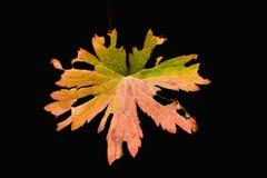 πολύχρωμο φύλλο φθινοπώρου Στοκ Εικόνα