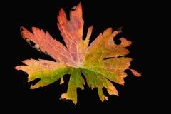 πολύχρωμο φύλλο φθινοπώρου Στοκ φωτογραφία με δικαίωμα ελεύθερης χρήσης