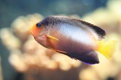 Πολύχρωμο angelfish Στοκ φωτογραφίες με δικαίωμα ελεύθερης χρήσης
