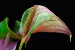 Πολύχρωμο anthurium λουλούδι tailflower, λουλούδι φλαμίγκο Στοκ Φωτογραφία